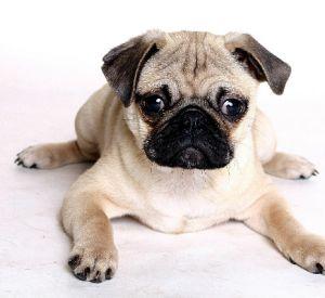 Мопсы – самые бесподобные собаки с приплюснутой мордахой
